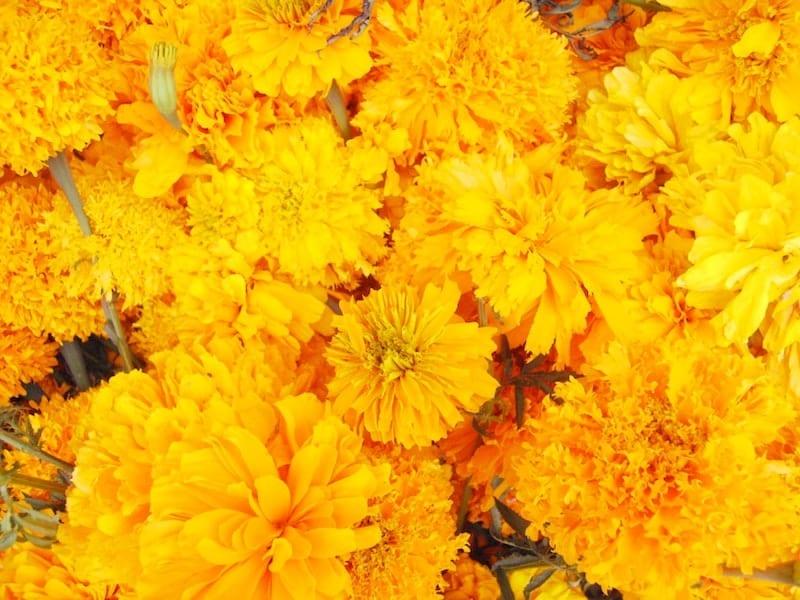 Aztek Portakal Çiçeği